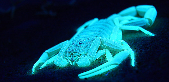 A scorpion glowing pale blue against a black background